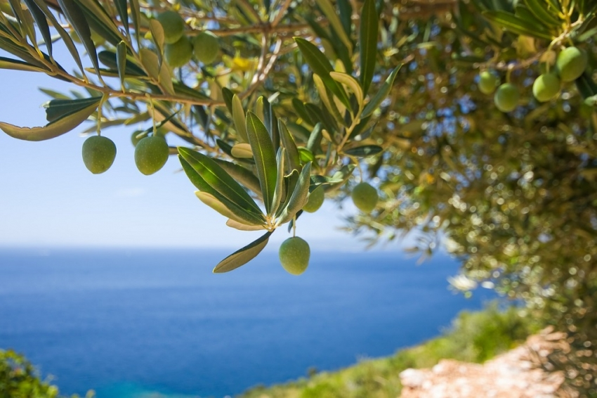 olive-oil-croatia.jpg
